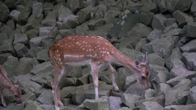 Cute female deer in the mountain forest video