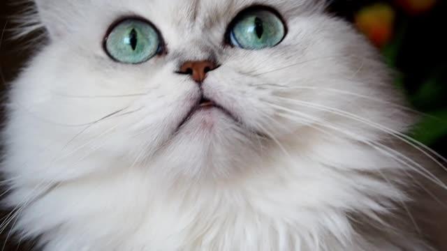 Cute fluffy cat with big eyes