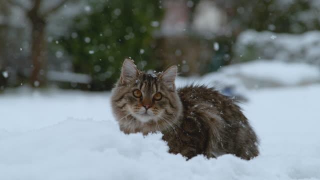 ağir çekim: soğuk kışın karlı arka bahçesinde yalan şirin tüylü yavru kedi. - kabarık stok videoları ve detay görüntü çekimi