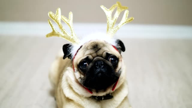 cute funny pug dog in a new-year suit, sitting on the floor with deer antlers. new year or christmas concept - poroże filmów i materiałów b-roll