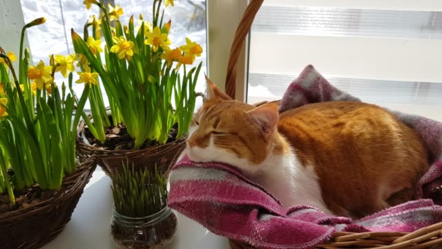 Cute funny red-white cat on the windowsill in basket video
