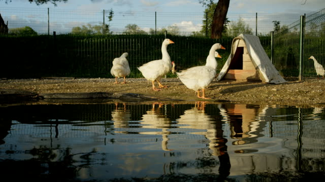 CLOSE UP: Cute geese standing on the edge of artificial pond drinking water video