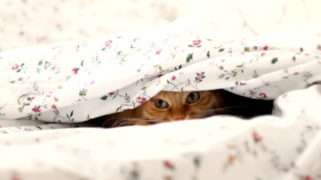 Cute ginger cat lying in bed, hiding from baby boy. Men raises the blanket