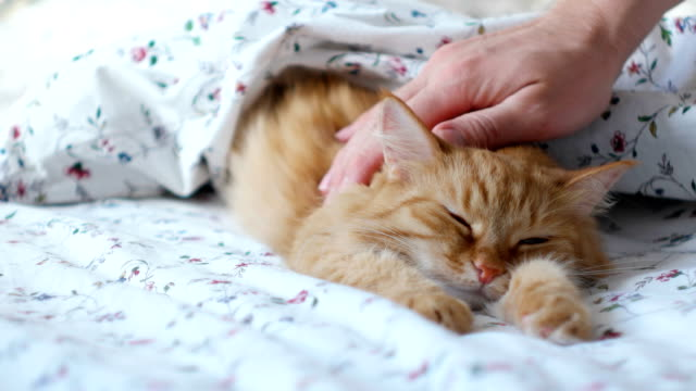 Cute ginger cat lying in bed. Men strokes fluffy pet, it purrs.