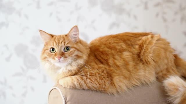 かわいい生姜猫ソファの腕の上に横たわる。ふわふわペットがカメラで主演します。居心地の良い家庭背景 - ふわふわ点の映像素材/bロール