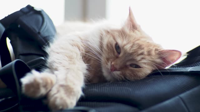 vídeos y material grabado en eventos de stock de lindo gato jengibre en mochila. animal doméstico mullido parece disgustado - animales de granja