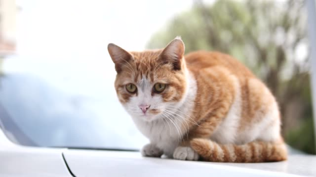 cute ginger tabby cat lying down on car and looking around alertly, focused on its eyes, 4k movie, slow motion. - gatto soriano video stock e b–roll