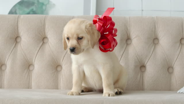 Cute golden labrador puppy sitting with a red bow