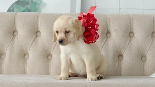 cute golden labrador puppy sitting with a red bow - nastro per capelli video stock e b–roll
