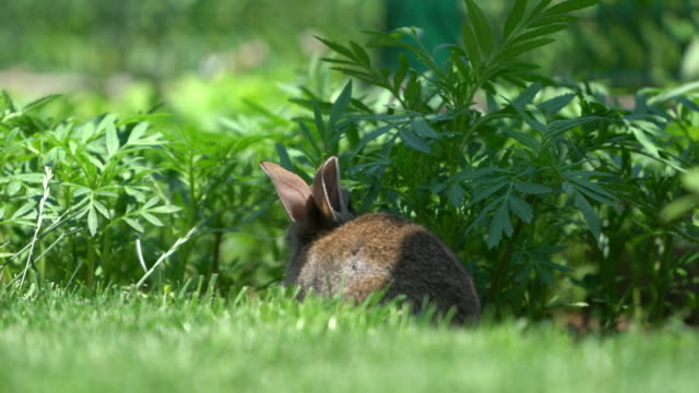 vídeos de stock e filmes b-roll de cute gray cottontail bunny rabbit munching grass in the garden - animal doméstico