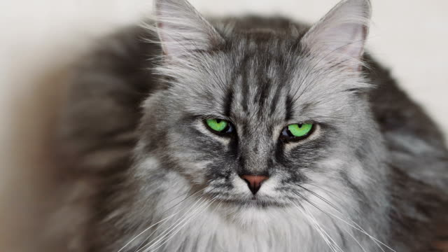 vídeos de stock, filmes e b-roll de gato fofo cinza fofo - felino