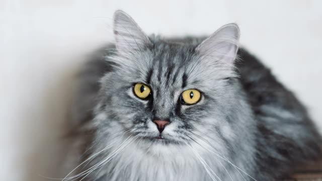 vídeos y material grabado en eventos de stock de lindo gato esponjoso gris - felino