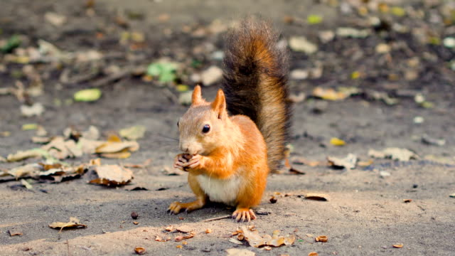 Cute hungry red squirrel with furry fluffy tail sitting on ground eating cedar nuts. Sunny fall day video