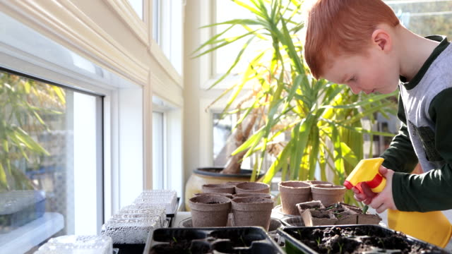 cute kid re-potting germinated seeds while quarantined at home at springtime - gardening video stock e b–roll