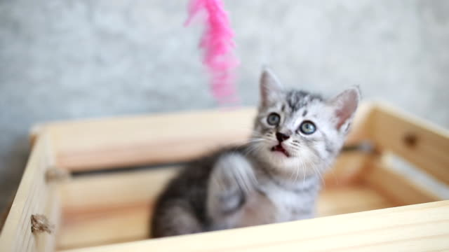 Cute kitten playing in box Cute kitten playing with dry wheat in wooden box kitten stock videos & royalty-free footage