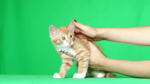 милый котенок играет с руками - кошка смешанной породы стоковые видео и кадры b-roll