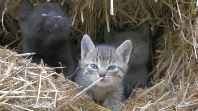 vídeos y material grabado en eventos de stock de lindos gatitos escondidos en el pajar maullido y mirando a las imágenes en cámara 4k 2160p uhd - pequeños felinos en el video uhd de 3840 x 2160 de heno 4k - vibrisas