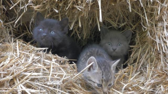 vídeos y material grabado en eventos de stock de lindos gatitos en heno hecho agujero ocultando 4k video uhd de 3840 x 2160 - tres gatos pequeños en el metraje uhd de 3840 x 2160 de 4 k todo - vibrisas