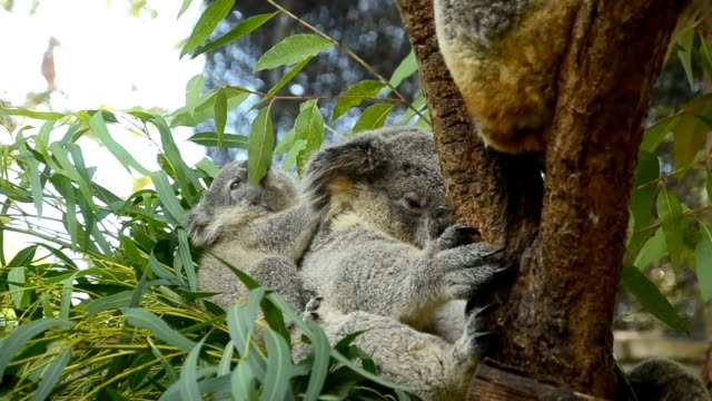Cute koalas video