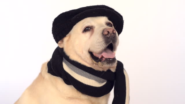 cute labrador in black hat and scarf video