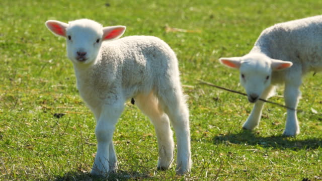 Cute lambs on the green meadow