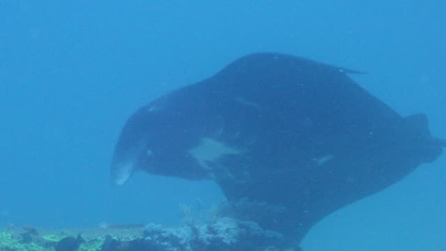 Cute large manta ray swimming in the blue ocean.