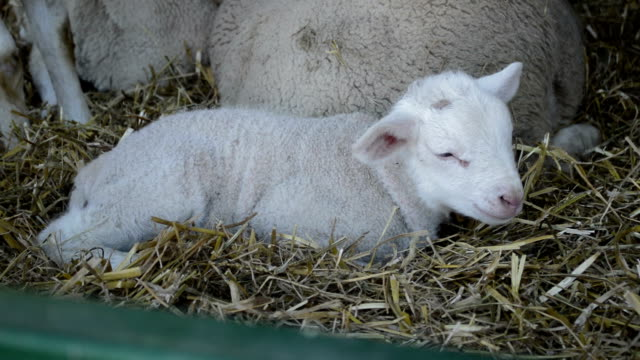 Cute litlle lamb on a farm