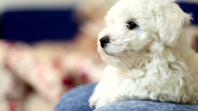 かわいい小さな bichon 子犬 - ビションフリーゼ点の映像素材/bロール