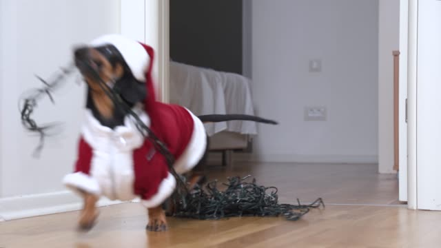 a cute little dachshund wearing santa claus suit and red hat joyfully runs to the room, carrying a christmas garland in his teeth. holiday preparation concept, decoration home. - jodła filmów i materiałów b-roll