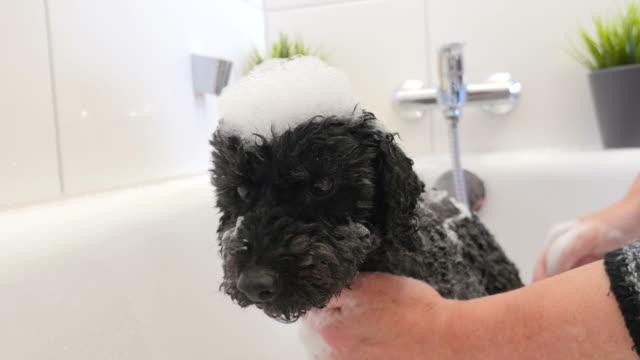 niedlicher kleiner hund wird in badewanne gewaschen - nutztier oder haustier stock-videos und b-roll-filmmaterial