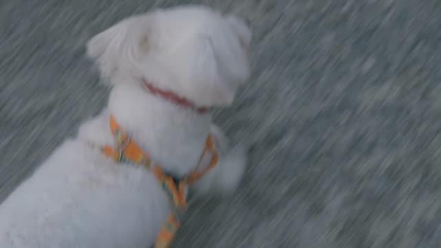 pov: かわいい小さな犬の散歩 - 愛玩犬点の映像素材/bロール