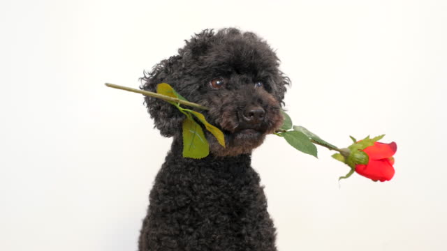 Cute little dog with a rose in its mouth