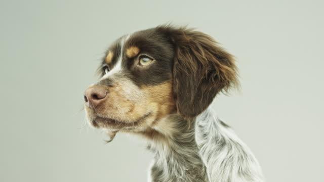 cute little epagneul breton dog portrait - soltanto un animale video stock e b–roll