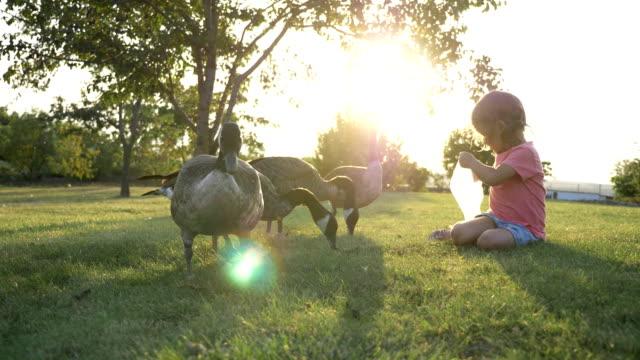 Niedliche kleine Mädchen fressen Wildgänse in grünen Sommerwiese – Video