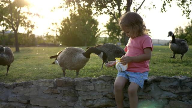 cute little girl feeding wild geese at green summer meadow - утка водоплавающая птица стоковые видео и кадры b-roll