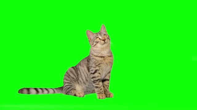 söt liten tabby katt på grön skärm - kattunge bildbanksvideor och videomaterial från bakom kulisserna