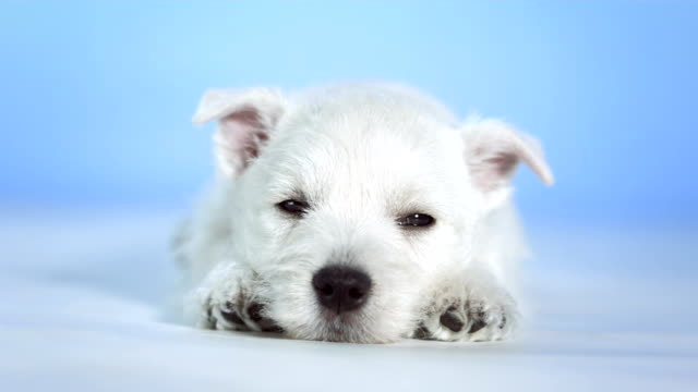 HD: Cute Little White Puppy Sleeping video