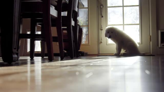 孤独な白い髪のかわいい子犬が座って、ドアによって待機 - 寂しさ点の映像素材/bロール
