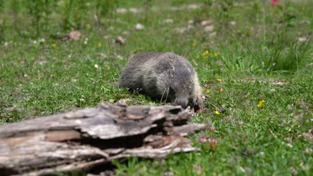 cute, lovely wild marmot pops up out of its burrow cute, lovely wild marmot pops up out of its burrow what a nice surprise. close-up groundhog day stock videos & royalty-free footage