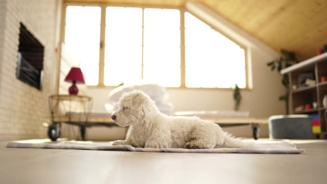 Cute Maltese dog lying on floor Fluffy Maltese dog lying on floor at home, then leaving room lying down stock videos & royalty-free footage