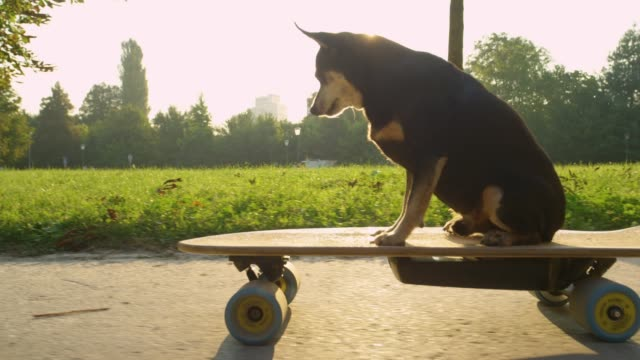 SLOW MOTION: Cute miniature pinscher cruising through park on electric longboard SLOW MOTION, CLOSE UP, LENS FLARE: Cute miniature pinscher cruising through the sunlit park on a high tech electric longboard. Cool slow motion shot of a senior dog sitting and riding an e-skateboard. effortless stock videos & royalty-free footage