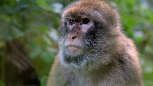 sevimli maymun - makak maymunu stok videoları ve detay görüntü çekimi