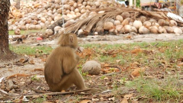 ココナッツ収穫収集からかわいい猿の労働者の休息。鎖の捕虜の動物労働の使用。石油およびパルプの生産のための準備ができているナットが付いた農場。タイの伝統的なアジア農業 - サムイ島点の映像素材/bロール