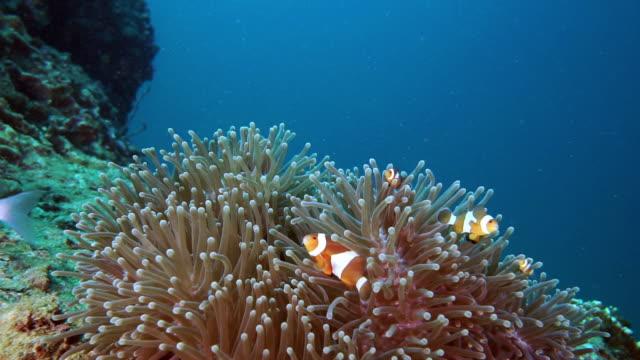 söt nemo clown fisk i havanemone - iktyologi bildbanksvideor och videomaterial från bakom kulisserna