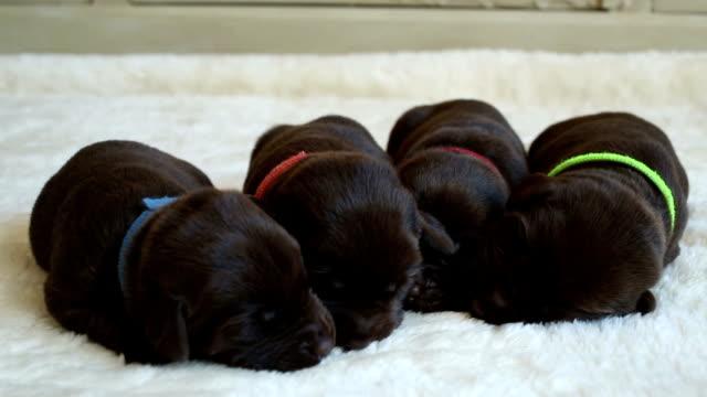 cute newborn brown labrador retrievers video