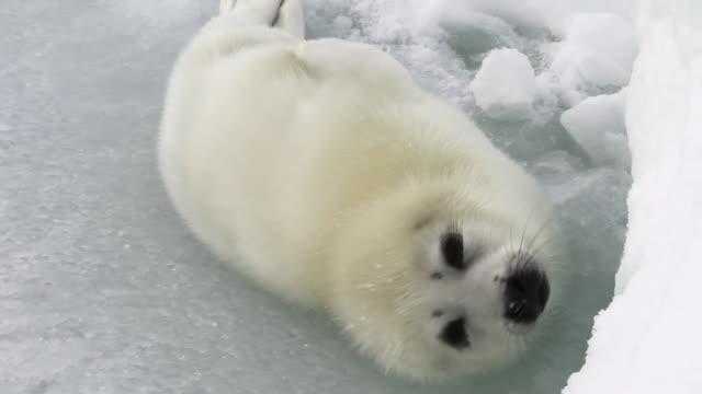 かわいい新生児シール白ロシアの海の氷の上。 - 崖点の映像素材/bロール