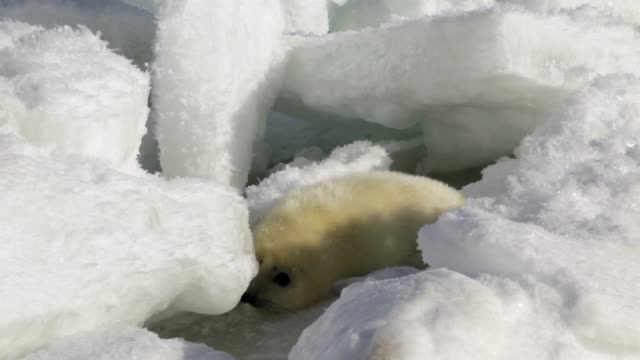 Cute Newborn Seal Pup On Ice Looking at the camera video