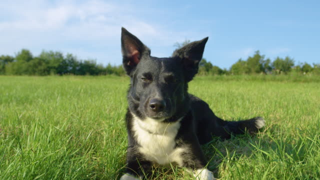 PORTRAIT: Cute patient puppy rests in the cold grass during a hot summer day. SLOW MOTION, PORTRAIT: Cute patient puppy with beautiful black and white fur rests in the cold grass during a hot summer day. Adorable border collie lying still in the middle of a sunny grassland. panting stock videos & royalty-free footage