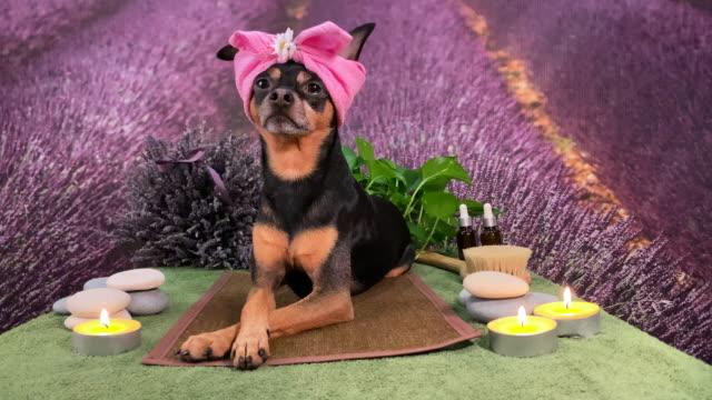 söta husdjur koppla av i spa wellness. hund i en turban av en handduk bland spa care objekt och växter. rolig koncept grooming, tvättning och skötsel av djur - hälsosalong bildbanksvideor och videomaterial från bakom kulisserna