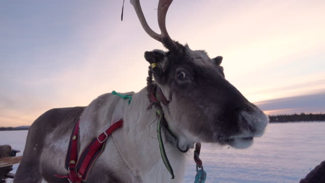 close up: cute polar reindeer with snowflakes on muzzle pulling sledge in winter - reindeer stock videos and b-roll footage